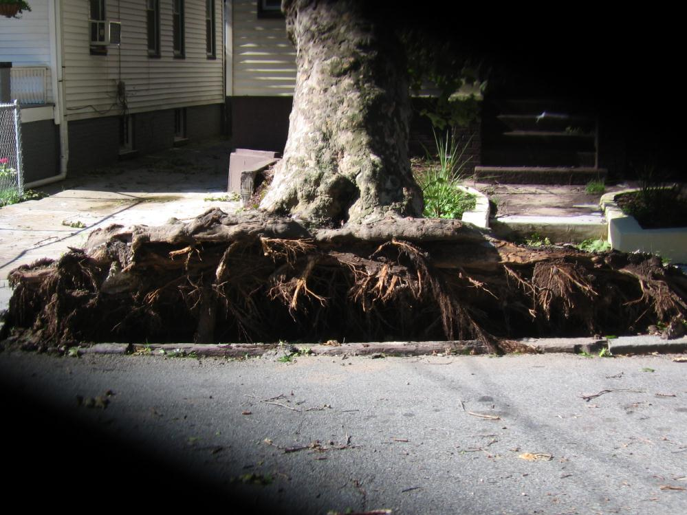 Tree roots after Irene